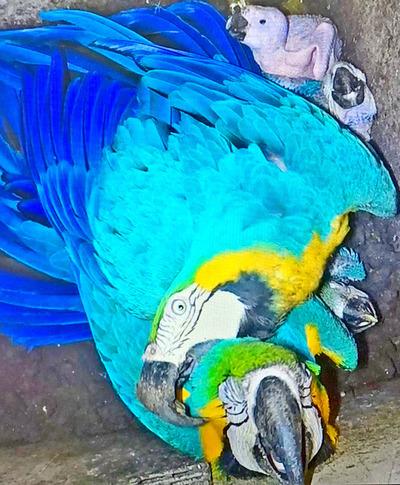 Nacen cinco guacamayos en el zoológico de Itaipú