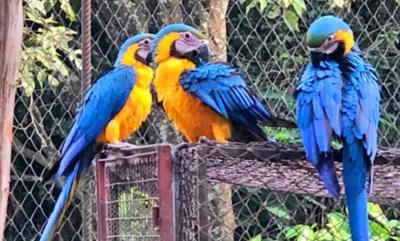 Nacieron cinco guacamayos en centro de investigación de animales silvestres de Itaipu