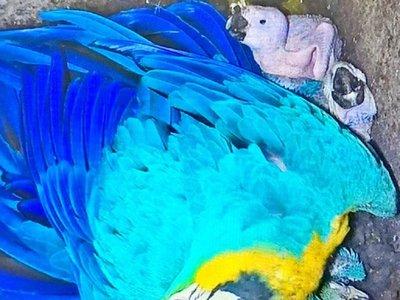 Nacieron 5 guacamayos en Centro de Investigación de Animales de Itaipú