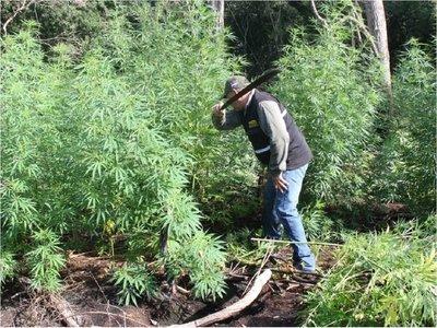 Destruyen plantaciones de marihuana en el Parque Nacional Cerro Corá