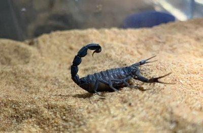 Precauciones ante la picadura de un alacrán o escorpión
