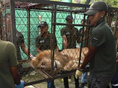 La historia de Júpiter, el león que pasó del circo a un refugio y luego al zoo