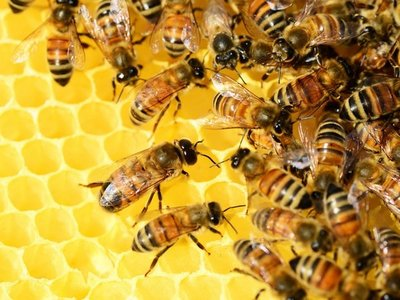 Investigan muerte por aparente ataque de abejas