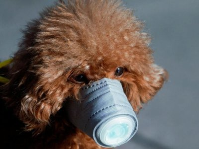 Un perro dio positivo al coronavirus y lo pusieron en cuarentena