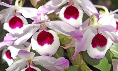 » Reproducción de orquídeas: Dendrobium nobile