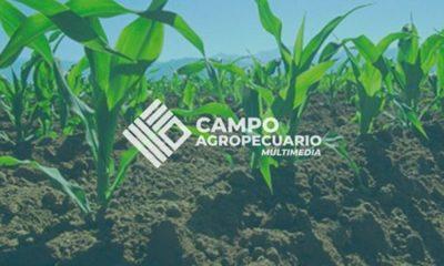 » Actualización técnica en maíz