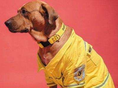 Buscan a Ouro, la mascota de los bomberos voluntarios de Sajonia