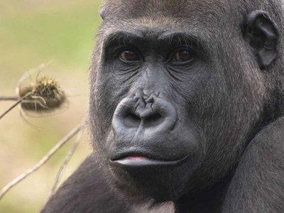 Los gorilas, en contra de lo que se creía, pueden ser territoriales