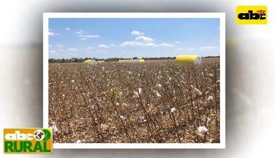 Programa 17: cultivo de algodón en el Chaco