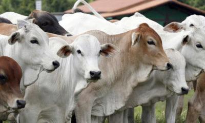 » Limitada demanda externa afecta al sector ganadero de Paraguay