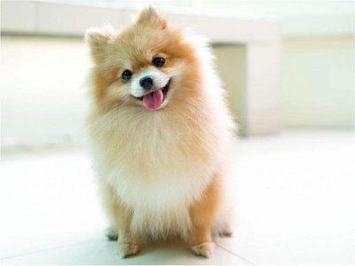 Murió el único perro diagnosticado con coronavirus en el mundo