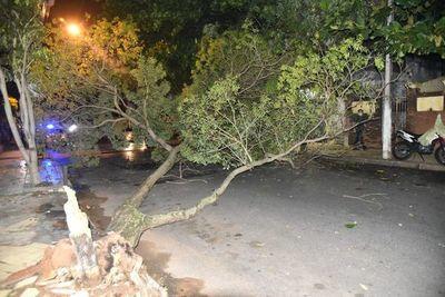 Peligro tras caída de añoso tajy en barrio Ciudad Nueva