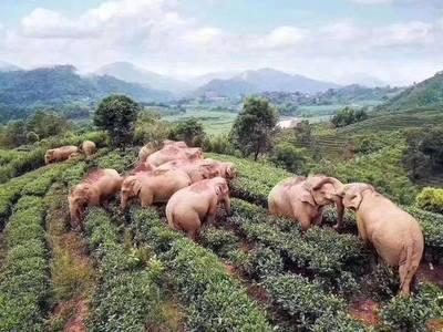 China: Elefantes entraron a una granja y bebieron todo el vino