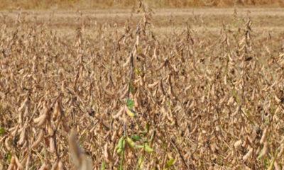 » Bolivia avanza en la aprobación de soja transgénica tolerante a sequías