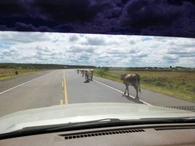 En Pilar faenarán las vacas callejeras