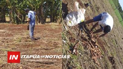 AGRICULTOR DE SAN LUIS DEL PARANÁ DONÓ MANDIOCA PARA LOS MÁS HUMILDES.
