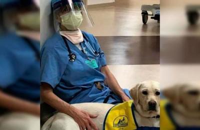 El noble trabajo de los perros de terapia para apoyar a los médicos extenuados por el coronavirus