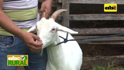Programa 19: Selección de cabras para producción de leche