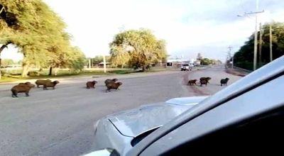 Carpinchos se pasean en Loma Plata aprovechando el escaso tránsito vehicular
