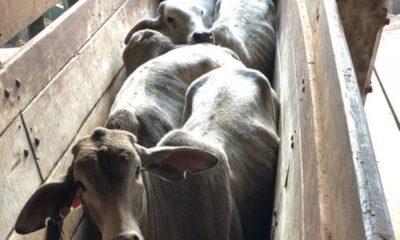» Vacunación antiaftosa inmunizó a casi 14 millones de bovinos