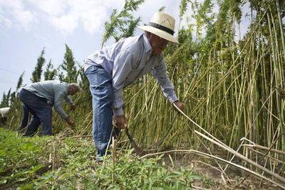 Prevén habilitar a más firmas para adquirir semilla de cáñamo