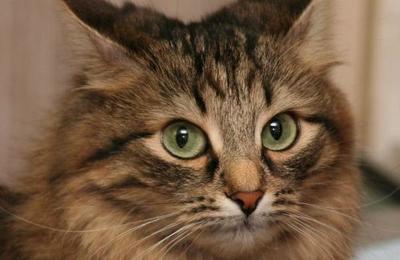Confirman el caso de un gato que dio positivo por coronavirus