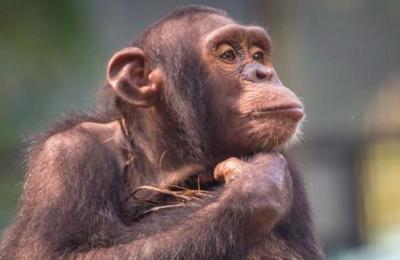 Zoológico exhibe 'El Rey León' a chimpancés para entretenerlos ante la falta de visitantes