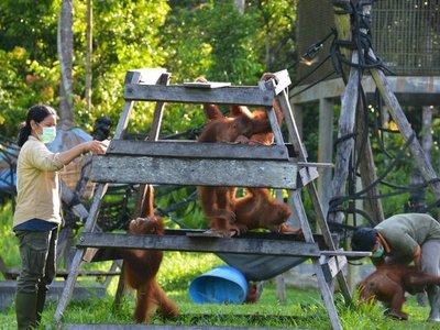 Indonesia intenta proteger a los orangutanes de la amenaza del coronavirus