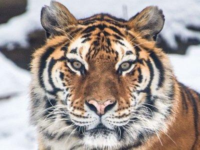 Tigresa de zoológico en Nueva York da positivo por coronavirus