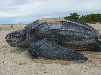 Covid-19: La tortuga marina más grande del mundo está en peligro