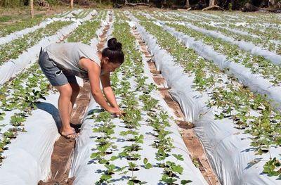 Cultivan 10.000 plantines de frutilla en zonas de Areguá