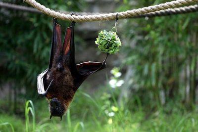 """Cuatro nuevas especies de murciélagos, """"primos"""" de los vinculados a COVID-19"""