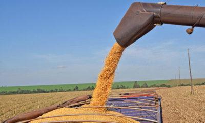 » Exportación de maíz crece 91% y tiene mayor mercado