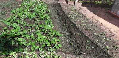 MAG constata buena germinación de semillas distribuidas mediante programa de huertas familiares