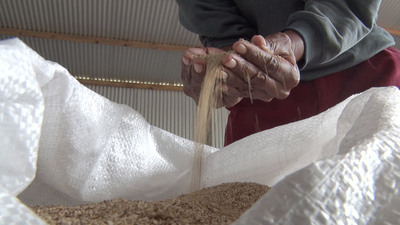 Hay buena producción de sésamo pese a cuarentena y sequía en la Comunidad Indígena Nueva Promesa