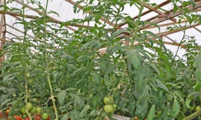 » Medidas para minimizar los efectos del SARs-CoV-2 en la horticultura paraguaya