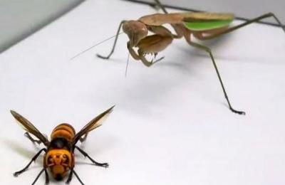 Esto pasa cuando juntas a un avispón gigante asesino y a una mantis religiosa