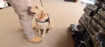 HOY / Akira, la can que detectó 4 toneladas de marihuana en camión de bananas