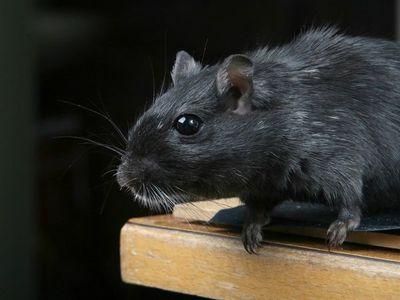 Los ratones se aprovecharon de los humanos para conquistar el mundo