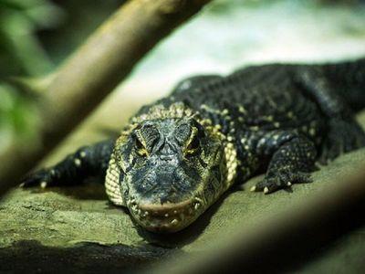 Muere el caimán que sobrevivió a la Segunda Guerra Mundial