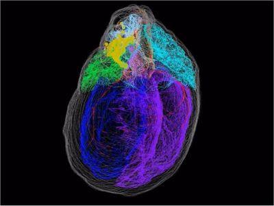 Crean el primer mapa tridimensional de las neuronas del corazón