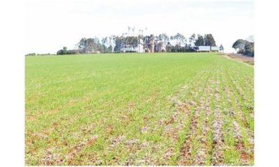 » Clima favorece inicio del trigo en Itapúa