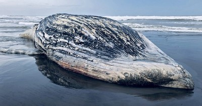 Localizan muerta a ballena de 13 metros en playa de Guatemala