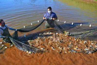 Itaipu suministró más de 20 millones de peces nativos para consumo y siembra