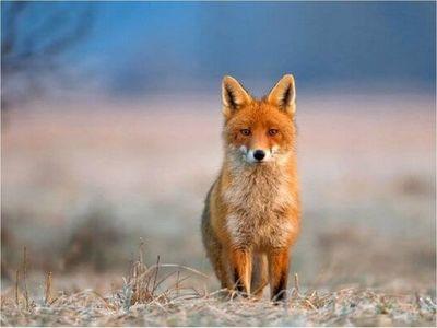 Los zorros rojos en ciudades, más cerca de la domesticación