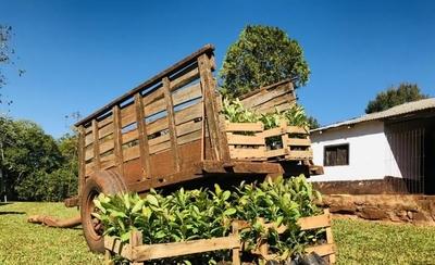 HOY / Plantan más de 12 mil árboles de Yerba Mate en el Guairá