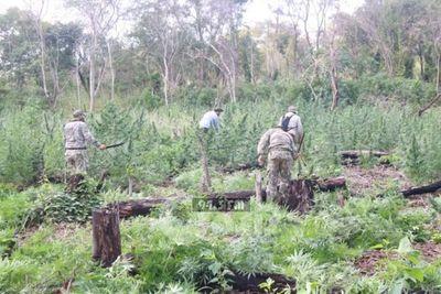 Destruyen plantación de marihuana en el Parque Nacional Cerro Cora