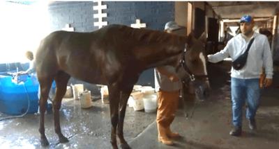 Venezuela: Roban y descuartizan a un caballo de competencia para comerlo