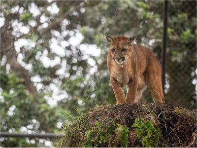 3 pumas rescatados del tráfico ilegal se recuperan en el zoológico de Lima