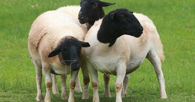 Paraguay realizó exportación de ovinos a Argentina